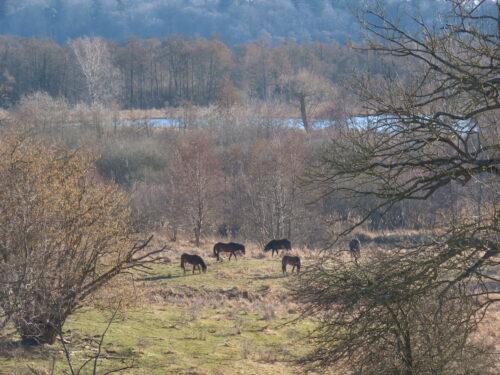 Exmoor ponier i Vaserne © Made by Loevdahl