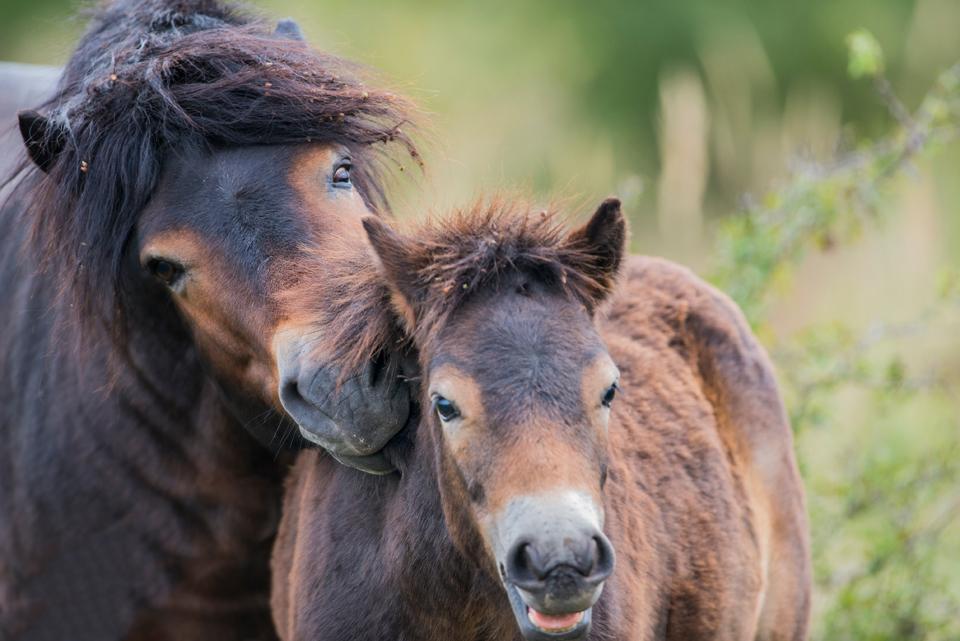 Exmoore ponies from Milovice © Verastuchelova